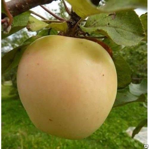 яблоня рижский голубок фото описание кухне таким