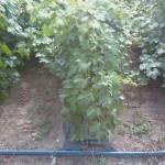 Фото Саженцы технического винограда Кефесия ( Эким кара, Черный... Изюм Посадочный материал :
