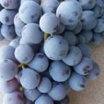 Фото Саженцы винограда универсального Аэлита, Россия... Повсеместно Посадочный материал :