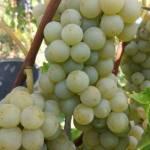 Фото Саженцы винограда Олег ( Диамант), Украина... Повсеместно Посадочный материал : виноград,