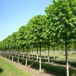 Фото Крупномеры и деревья продажа посадка из питомника растений... Липецк Русские Просторы