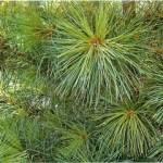 Фото Сосна кедровая (Pinus sibirica), 30-40 см... Санкт-Петербург Вилла-планта (садовый центр и