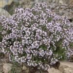 Фото Тимьян Серпиллиум (Thymus serpillium)Р12... Санкт-Петербург Вилла-планта (садовый центр и