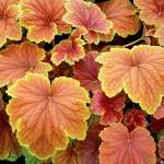 Фото Гейхера Дельта Дон (Heuchera Delta Dawn)Р12... Псков Вилла-Планта (питомник растений)