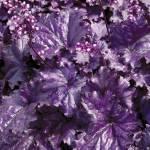 Фото Гейхера Форева Пепл (Heuchera Forever Purple)Р12... Псков Вилла-Планта (питомник растений)